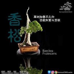 Baeckea Frutescens 003