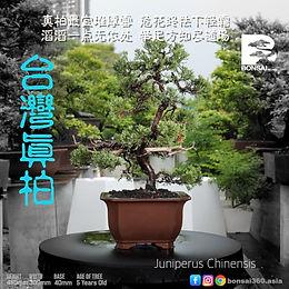 Juniperus Chinensis 008