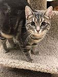 Long orange hair kitten for adoption