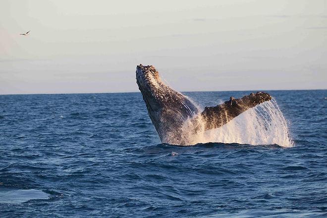 abrolhos.baleia jubarte (18).jpeg