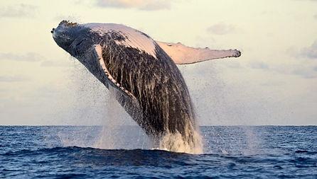 abrolhos.baleia.jubarte.avistamento (1).jpg