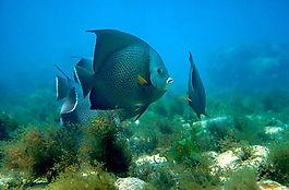 abrolhos.peixe.frade (1).jpg