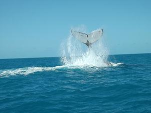 abrolhos.diveinn.cauda.baleia.jubarte.jpg