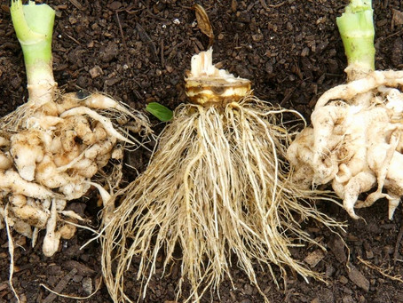 Manage Clubroot Infestation with Microbial Enhanced Farming