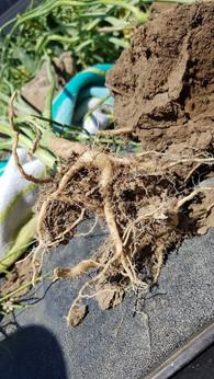 Root fiber 2019