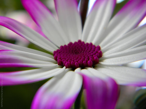 Purple-Fire Daisy