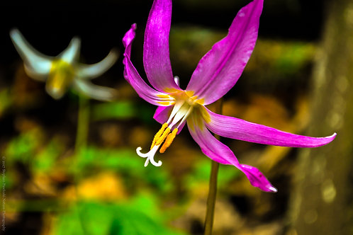 Fawn Lily in Pink
