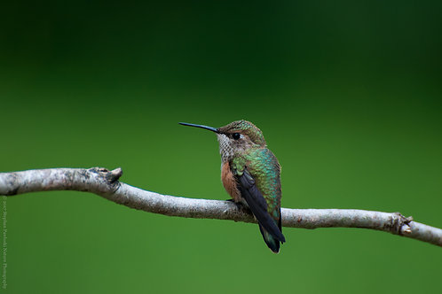 Majestic Broad-Tailed Hummingbird
