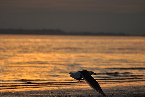 Seagull in Last Light