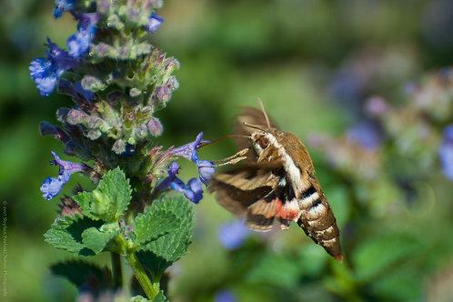 A Rare Sighting - Hummingbird Moth