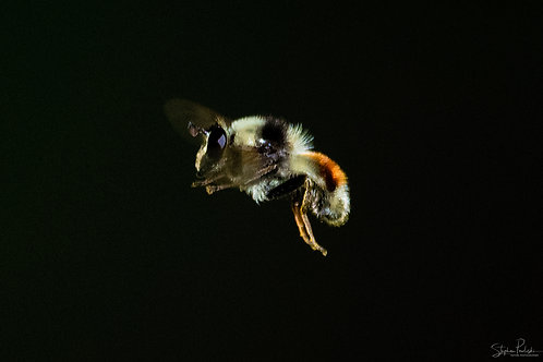 Red-Backed Bumblebee