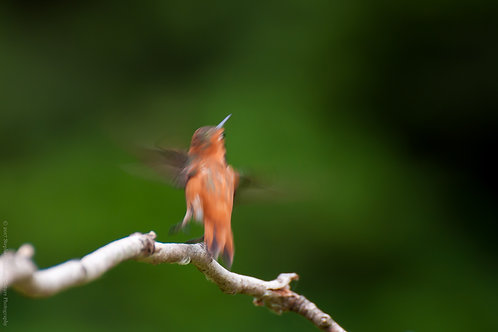 Rufous Hummingbird On Takeoff