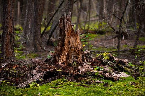 The Bear's Stump