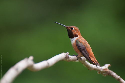 Resting Rufous Hummingbird