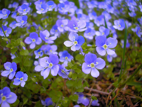 Hypomanic Speedwell Wildflowers