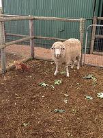 Stewie sheep.JPG