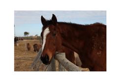Horse shot pro head latest2
