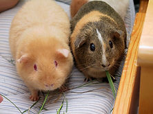 Two_adult_Guinea_Pigs_(Cavia_porcellus).