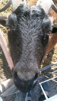 Goat close up.jpg