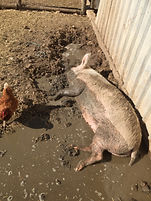 Sarah pig mud rolling.JPG