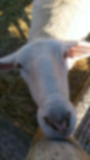 Sheep close up.jpg