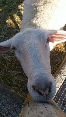 Sheep close up.jpg