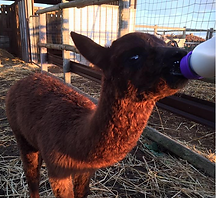 Alpacca feeding cropped.png