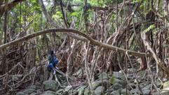 猿川ガジュマル Banyan