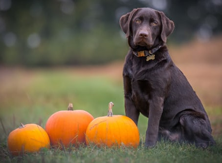 Canine Capers and Halloween
