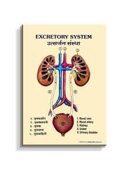 J401H - Excretory System