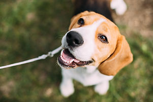Beautiful Tricolor Puppy Of English Beag