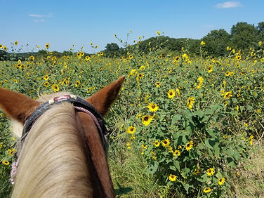 pretty ponies and wild sunflowers