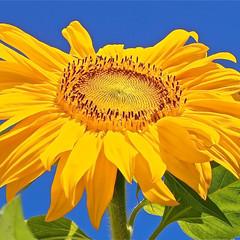 Blue Sky Sunflower
