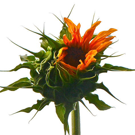 A Single Sunflower