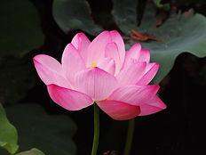 lotus_flower_pink_lotus-721360.jpg!s.jpe
