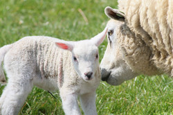 Adelaide Hills Sheep Vet