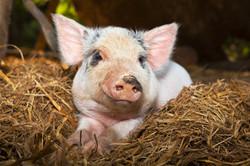 Adelaide Hills Pig Vet