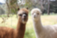 Adelaide Hills Alpaca Vet