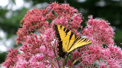 5 Flowering Perennials for Your Butterfly Garden