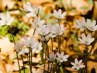 5 Beautiful Native Spring Blooms for Shaded Areas