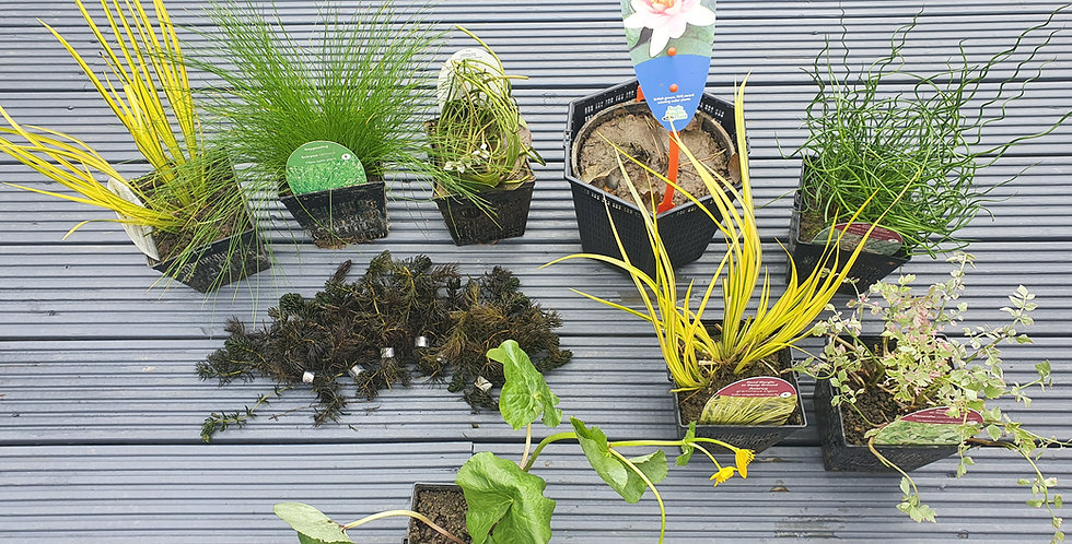 Plant Pack (inc Planters) Extra Large [7 day delivery]
