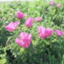 はまなすの丘公園ハマナス.jpg