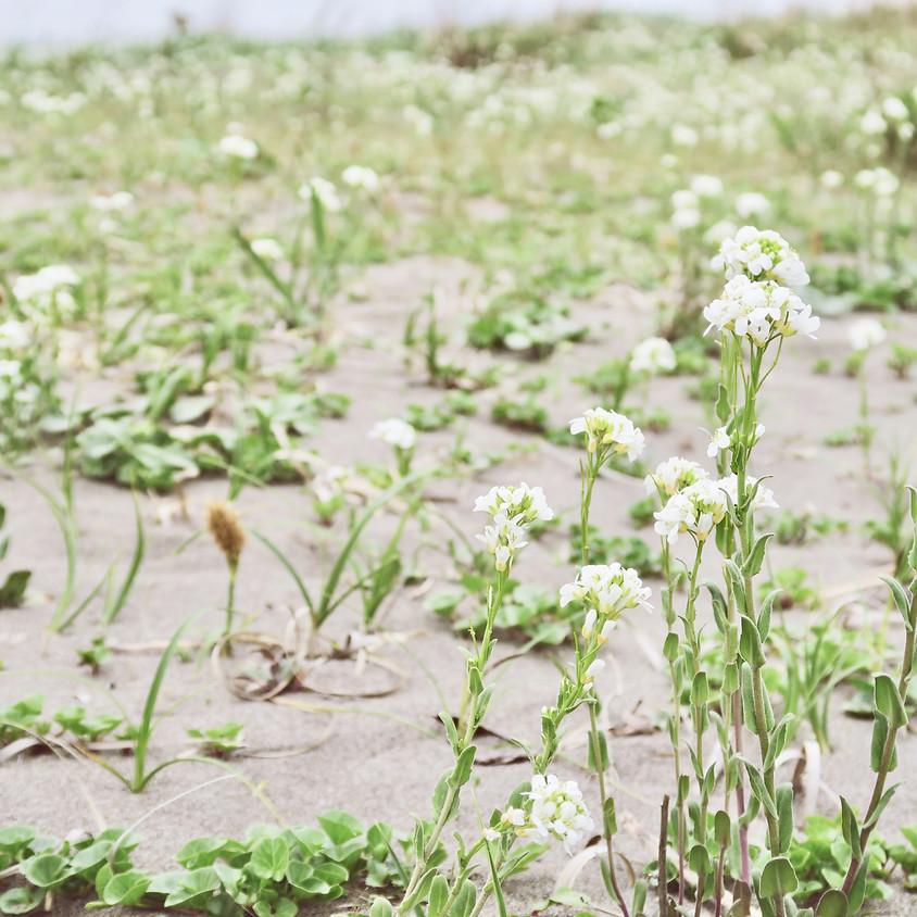 【有料】いしかり海辺の自然塾 :イソスミレ と海浜植物の芽吹きの観察会