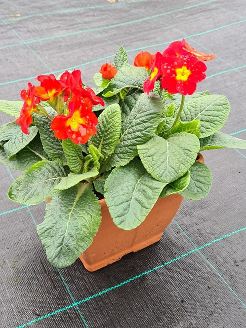Polyanthus Red - Planted Container