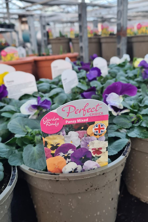 Pansy 2L - Lucky Dip