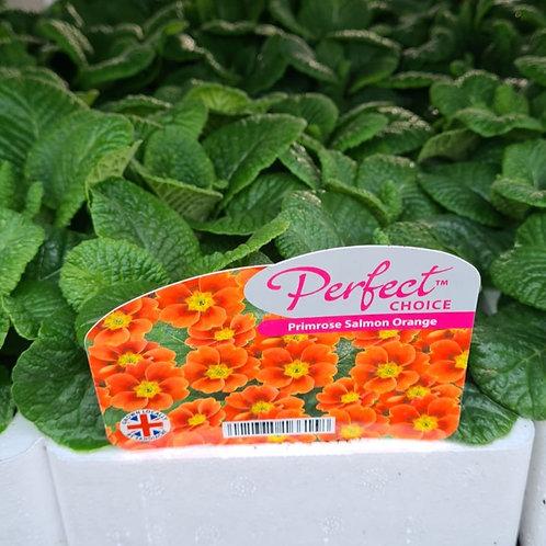 Primrose F1 -Salmon Orange