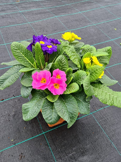 Polyanthus Mixed - Planted Container