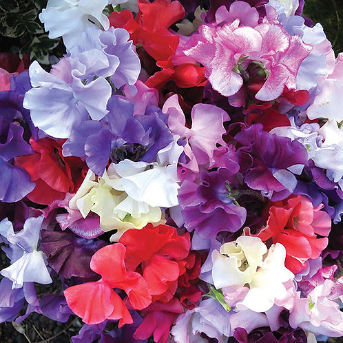 Sweet Pea Spencer Waved Mix