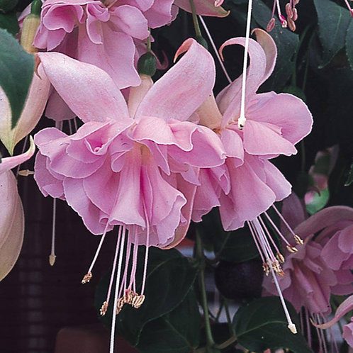 Fuchsia Hollys Beauty