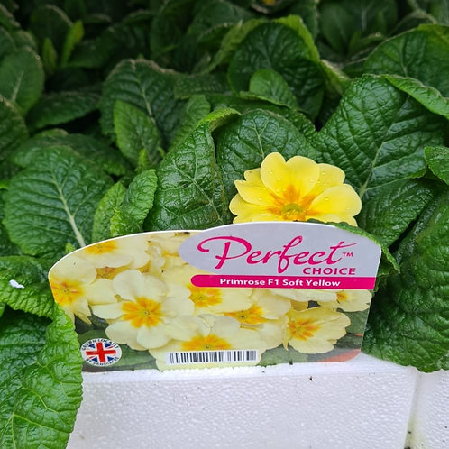 Primrose F1 - Soft Yellow